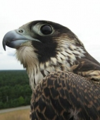 Peregrine (hatching year)