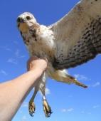 Swainson's hawk (second year)